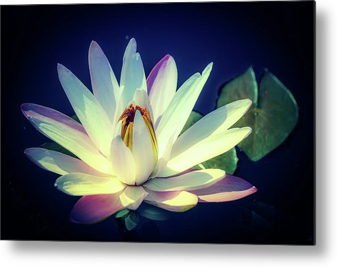 Water Lily Metal Print featuring the photograph Evening Water Lily by Julie Palencia