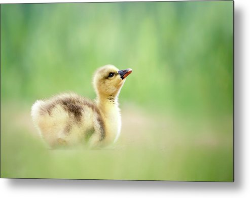 Gosling Metal Print featuring the photograph Facing A Brand New Future by Roeselien Raimond