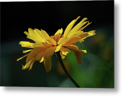 Daisy Metal Print featuring the photograph Flying Daisy by Kenneth Hein