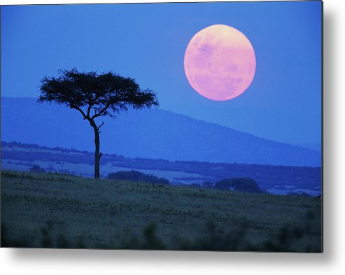 Scenics Metal Print featuring the photograph Full Moon Rising Above Tree, Savanna by Paul Souders
