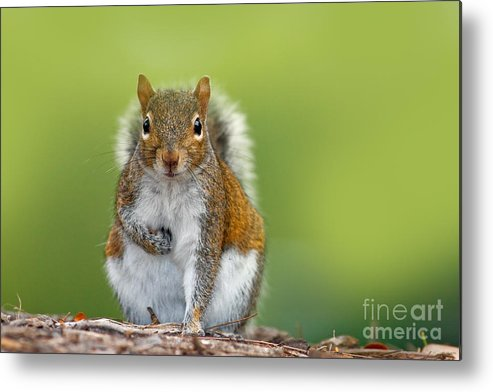 Studio Metal Print featuring the photograph Funny Image From Wild Nature. Gray by Ondrej Prosicky