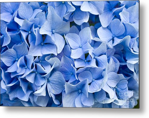 Delicate Metal Print featuring the photograph Hydrangea by Dwph