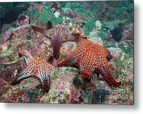 Knobby Starfish Metal Print featuring the photograph Knobby Starfish by Reinhard Dirscherl/science Photo Library