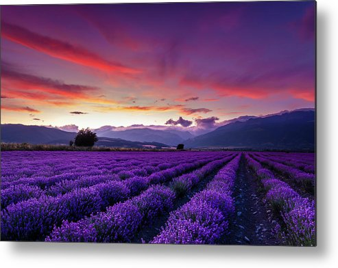 Dusk Metal Print featuring the photograph Lavender Season by Evgeni Dinev