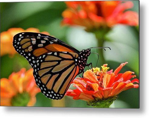 Butterfly Metal Print featuring the photograph Monarch On Orange Zinnia 7937 by Michael Peychich
