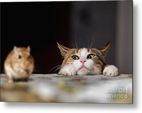 Small Metal Print featuring the photograph Pretty Ginger Cat Playing With Little by Sergey Zaykov