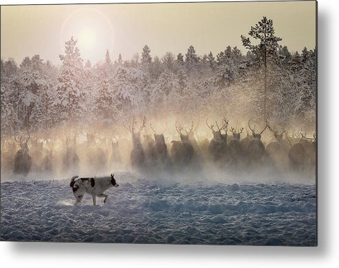 Animal Metal Print featuring the photograph Reindeers - North Of Russia by Patrik Minar