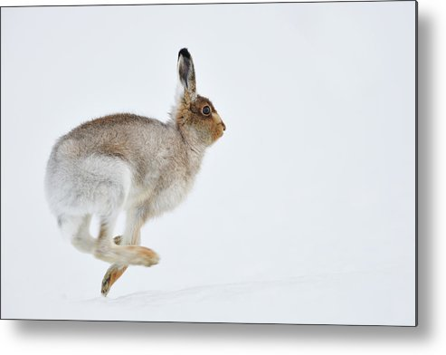 Mountain Hare Metal Print featuring the photograph Running Mountain Hare Lepus Timidus by Yves Adams
