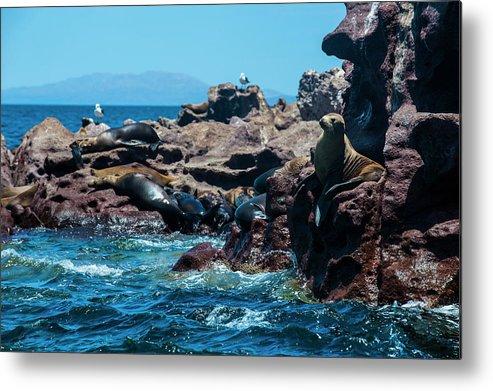 Scenics Metal Print featuring the photograph Sea Lion Colony At Isla Espiritu Santo by Michael Runkel / Robertharding