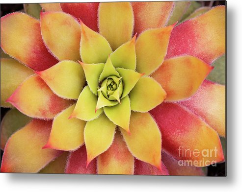 Sempervivum Chick Charms Gold Nugget Metal Print featuring the photograph Sempervivum Chick Charms Gold Nugget by Tim Gainey