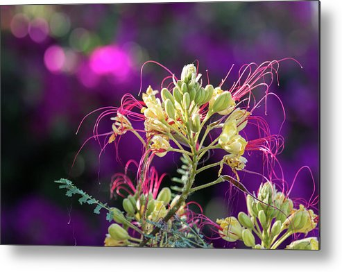 Arizona Metal Print featuring the photograph Stream Of Colored Highlights Leads To Yellow Bird Of Paradise by Rolf Jacobson