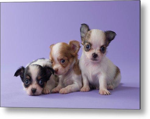 Three Chihuahua Puppies Metal Print by Mixa