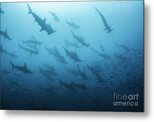 Sharks Metal Print featuring the photograph Underwater View Of Scalloped Hammerhead by Wildestanimal