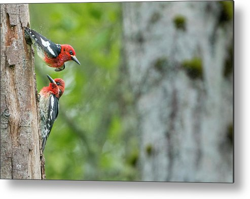 Couple Metal Print featuring the photograph Usa, Wa Red-breasted Sapsucker by Gary Luhm