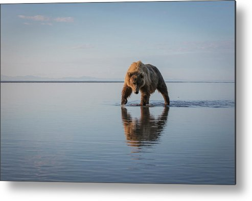 Bear Metal Print featuring the photograph Walking My Walk by Renee Doyle
