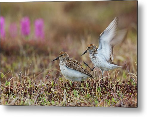 Alaska Metal Print featuring the photograph Western Sandpipers, Courtship by Ken Archer