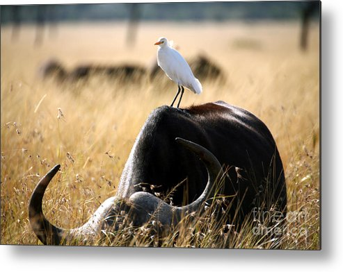 Egret Metal Print featuring the photograph White Cattle Egret Hitching A Ride On by Paul Banton