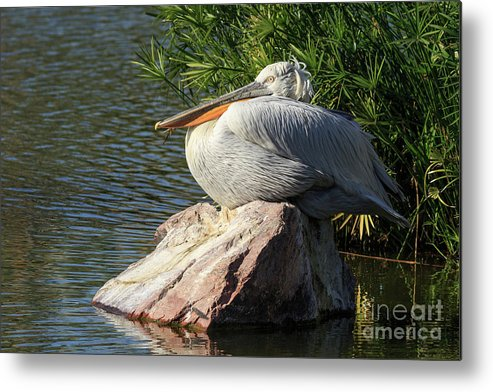 White Metal Print featuring the photograph White Pelican by Edward Fielding