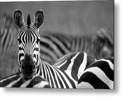 Plains Zebra Metal Print featuring the photograph Zebra by Wldavies
