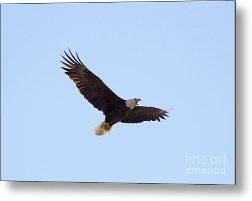 Eagle Metal Print featuring the photograph Bald Eagle Calling by Lori Tordsen