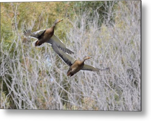 Duck Metal Print featuring the photograph Duck Season? by Bonfire Photography