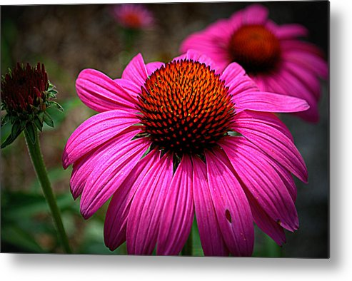 Pink Metal Print featuring the photograph Pink Coneflower by M Hess