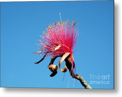 Amapola Metal Print featuring the photograph Shaving Brush Tree by Javier Correa