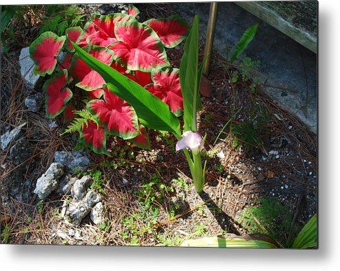 Growing In My Yard Metal Print featuring the photograph Canna Lily by Robert Floyd