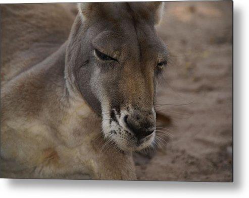 Australia Queensland Qld Metal Print featuring the digital art Kangaroos by Carol Ailles