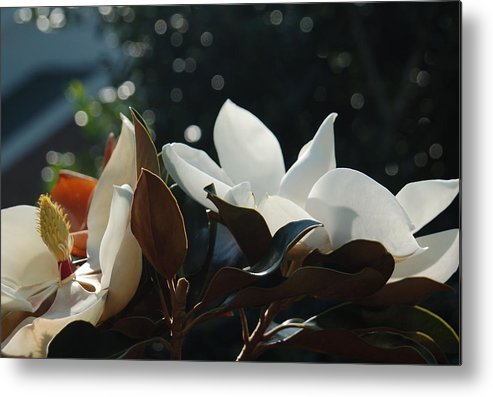 Magnolia Metal Print featuring the photograph A Sea Of Magnolias by Suzanne Gaff