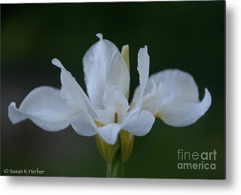 Flower Metal Print featuring the photograph Angel Wings Iris by Susan Herber