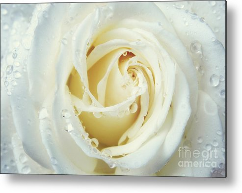 White Rose Metal Print featuring the photograph Beauty Of A White Rose by Rachel Barrett