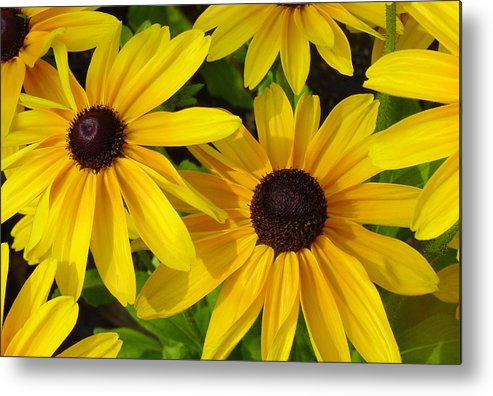 Black Eyed Susan Metal Print featuring the photograph Black Eyed Susans by Suzanne Gaff