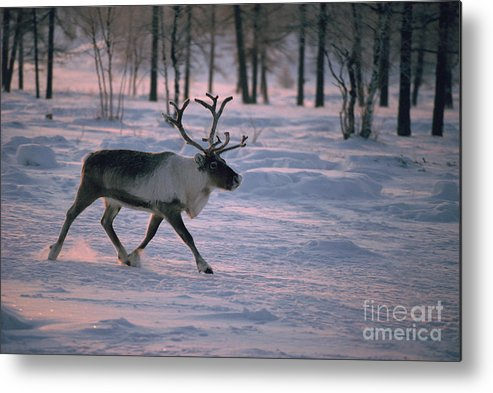 Animal Metal Print featuring the photograph Bull Reindeer In Siberia by Bryan and Cherry Alexander