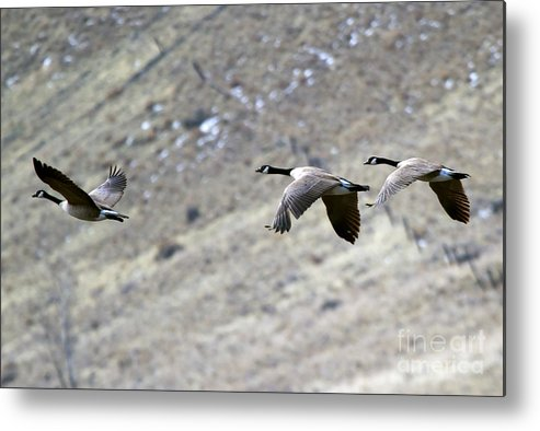 Geese Metal Print featuring the photograph Canadian Flight by Mike Dawson