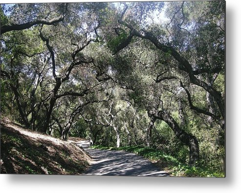 Landscape Metal Print featuring the photograph Coast Live Oaks by Marian Jenkins