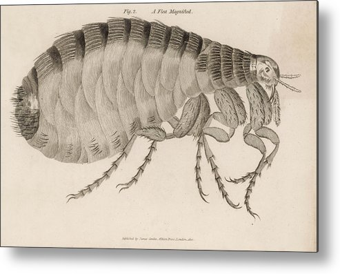 Insects Metal Print featuring the drawing Common Flea (pulex)      Date 1810 by Mary Evans Picture Library