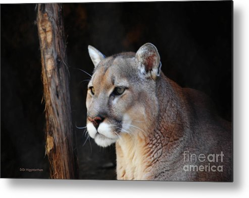 Cougar Metal Print featuring the photograph Cougar Fascination by DiDi Higginbotham