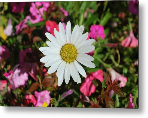 Flowers Metal Print featuring the photograph Daisy And Pink Flowers by Richard Jenkins