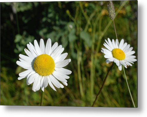 Flower Metal Print featuring the photograph Daisy Twins by Jan Piet