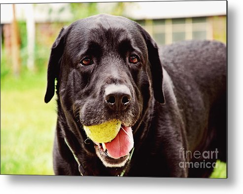 Black Labrador Retriever Metal Print featuring the photograph Dozer by Rachel Barrett