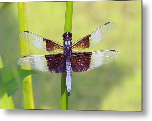 Dragonfly Metal Print featuring the photograph Dragonfly - Widow Skimmer by Greg Thiemeyer
