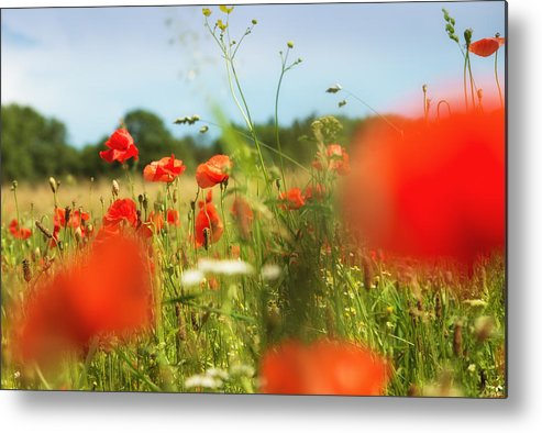 Corn Poppy Metal Print featuring the photograph Flower Meadow In Summer With Red Poppy by Matthias Hauser