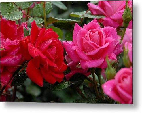 Rose Metal Print featuring the photograph Flowers 521 by Joyce StJames
