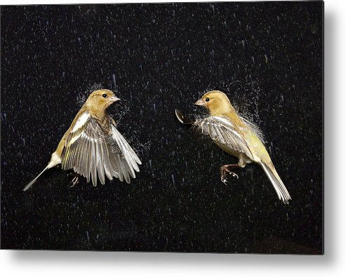 Bird Metal Print featuring the photograph Food Fight by Gary Murison