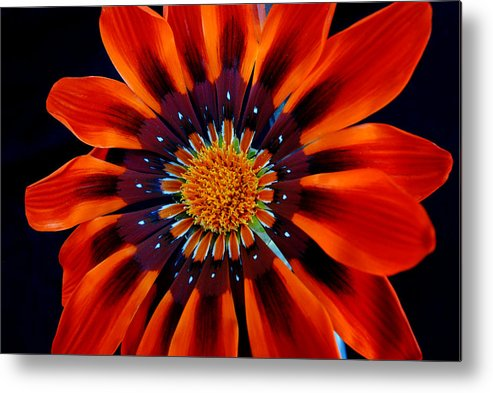Gazania Metal Print featuring the photograph Gazania Flower by Larry Harper