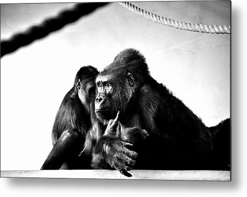 Gorillas Metal Print featuring the photograph Gorillas by AR Harrington Photography