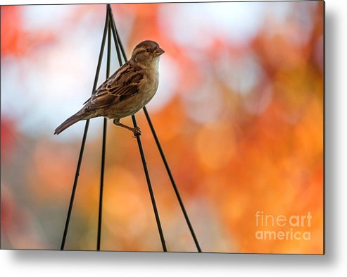 Sparrow Metal Print featuring the photograph Hanging by Rebecca Cozart