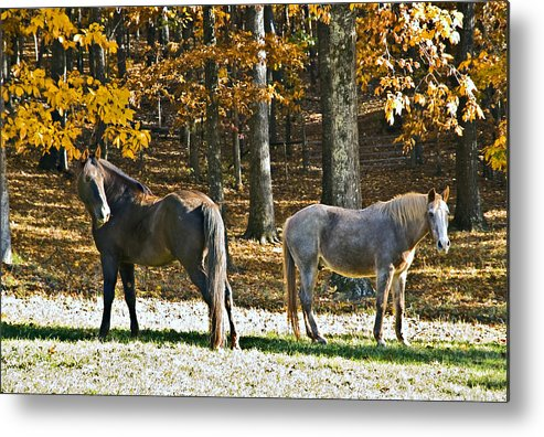 Animal Metal Print featuring the photograph Horses In Autumn Pasture  by Susan Leggett