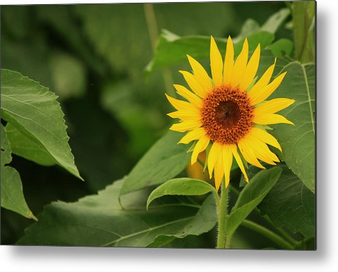 Sunflowers Metal Print featuring the photograph Little One by Amy Warr